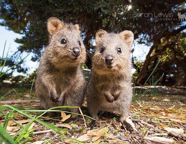 Quokkas On Rottnest Island Hello Perth Kisallatok Kenguru