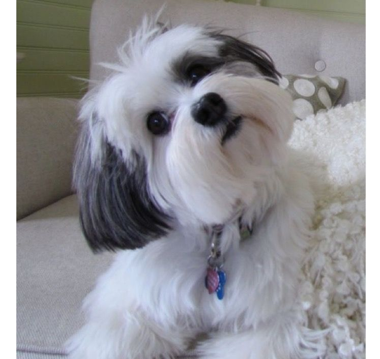 Black And White Shorkie Havanese Puppies