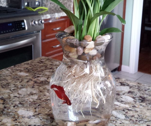 8 betta fish flower vase betta fish flower vases and for Plants for betta fish vase