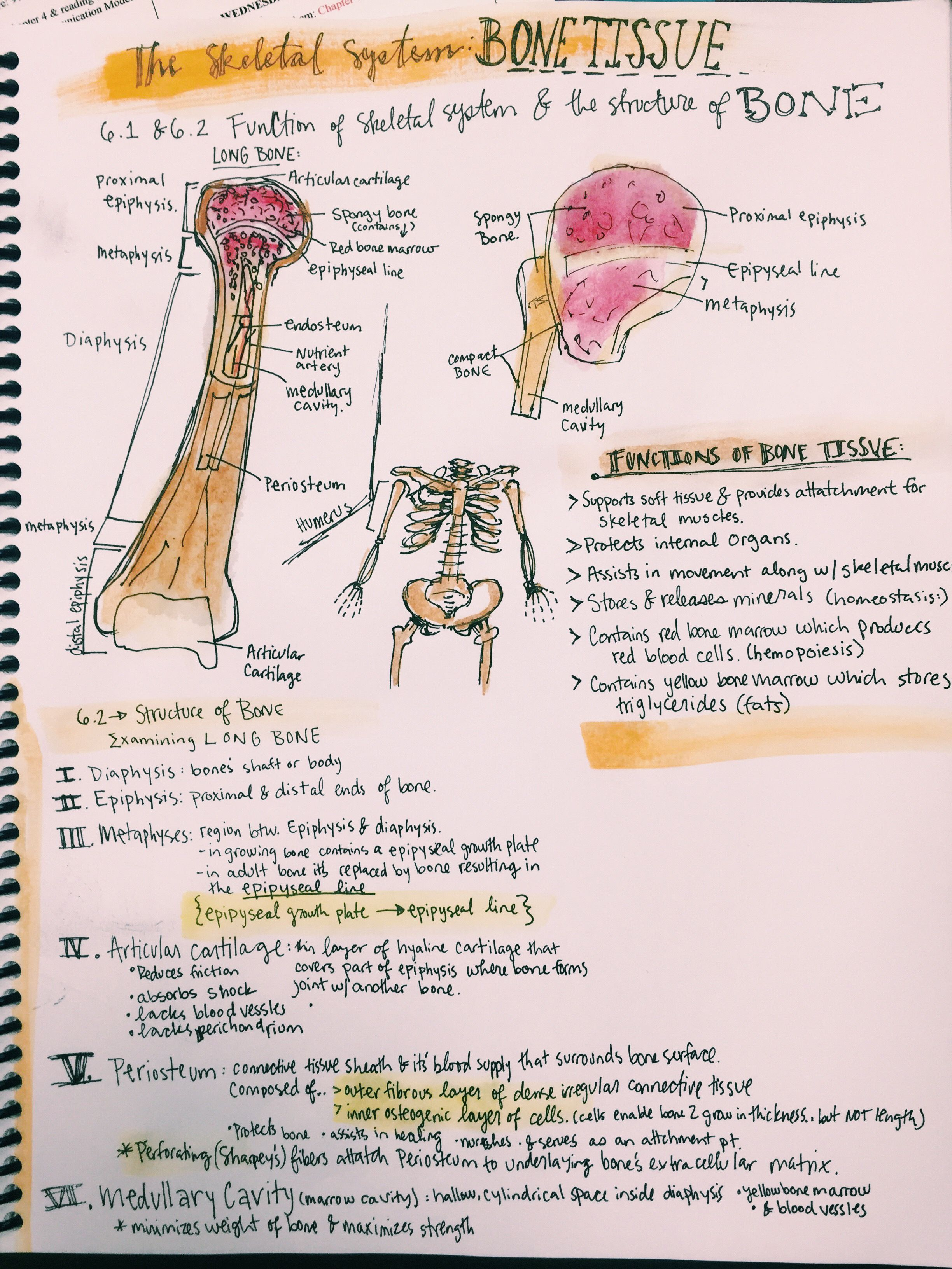 Bones and Bone tissue notes from Meriub | Anatomy and Physiology ...