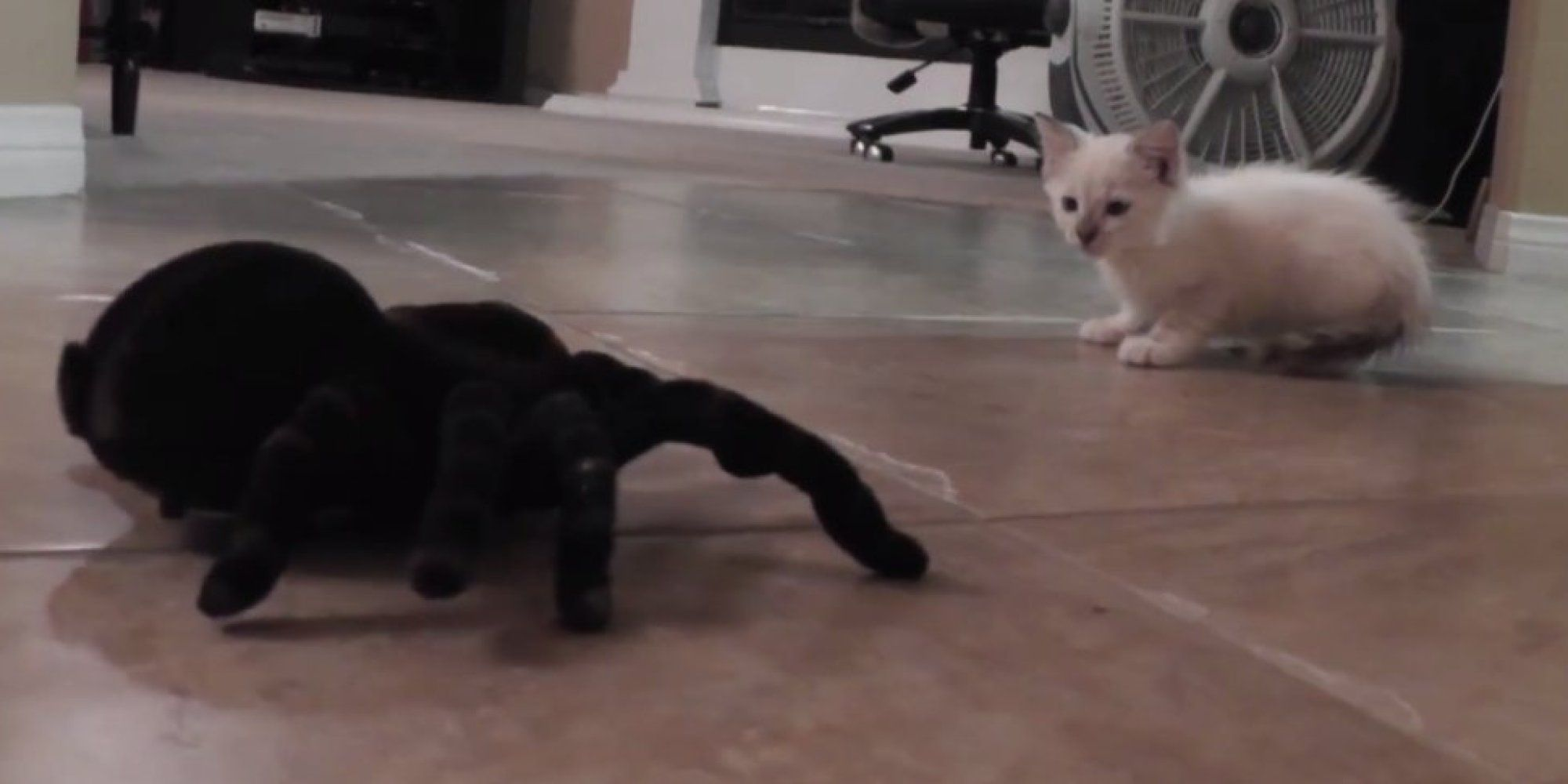 Kitten Takes On Spooky Remote Controlled Spider Buy A Cat Kitten Funny Cat Videos