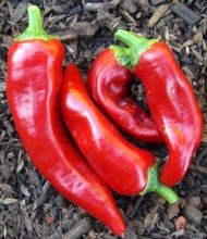 "Marconi Rosso Red Sweet Pepper    Pure imported Italian seed! This Italian heirloom is prized for its super-sweet, three-lobed fruit which grow up to 12"" long. Great in salads and one of the best frying peppers you will find"