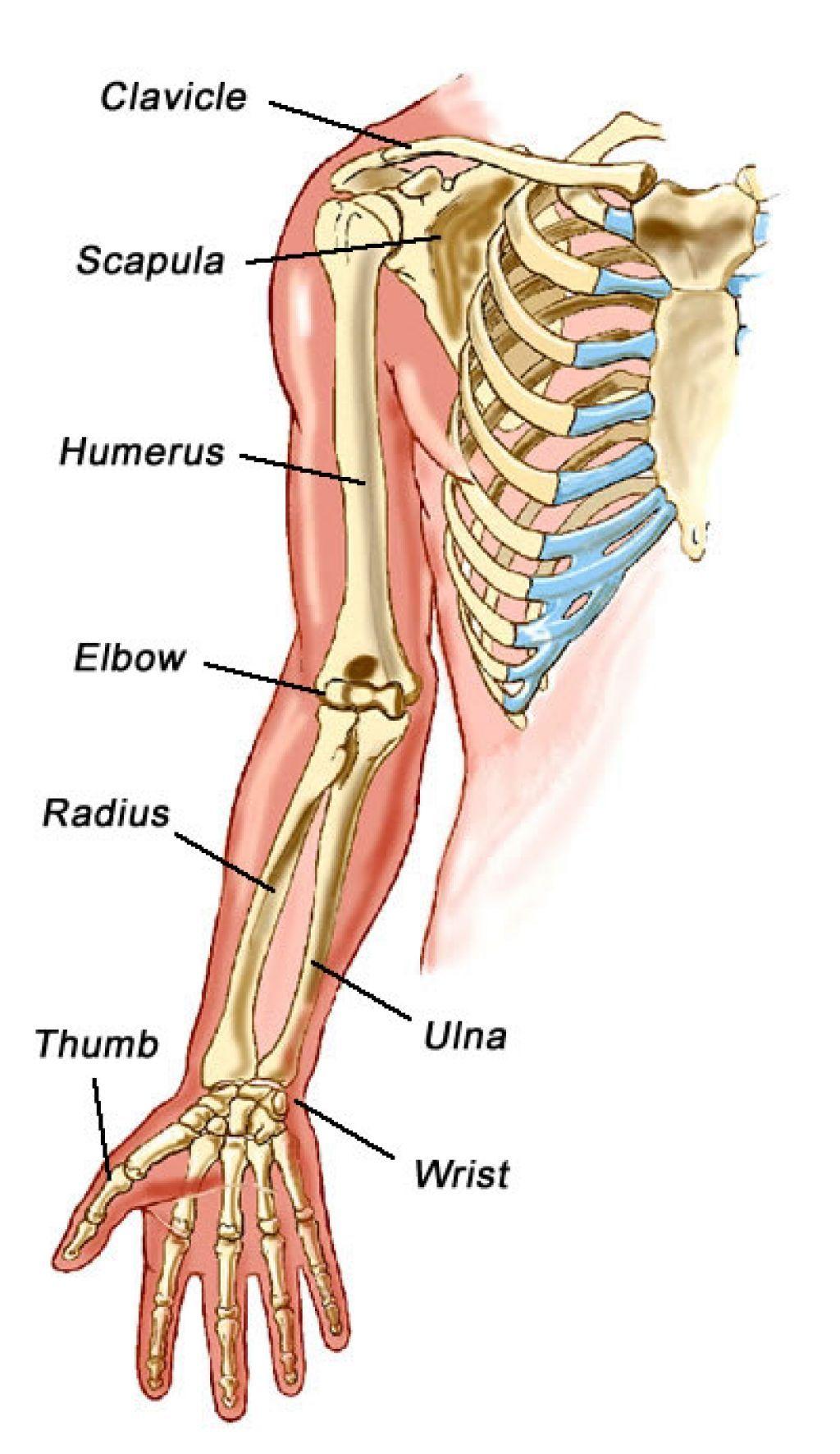 upper-arm-bone-anatomy-550fcac8b297d.jpg (1024×1771)   Undead ...