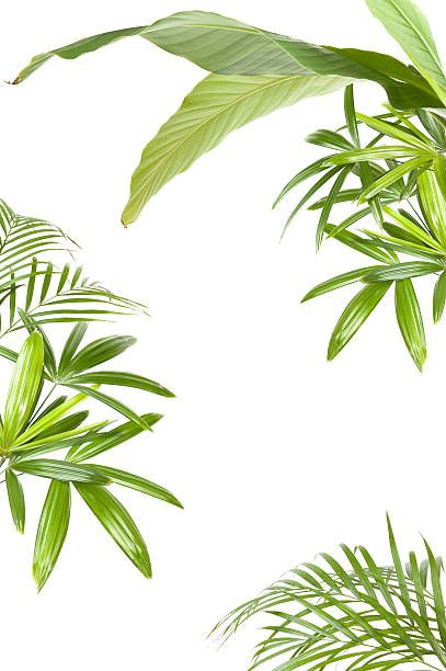 palms and banana to make a back ground frame. Completely white...