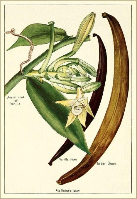 The History of Vanilla