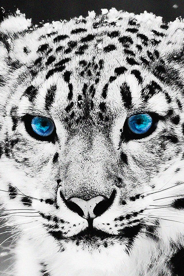 Blue Eyed Cat Parallax Hd Iphone Ipad Wallpaper Leopard