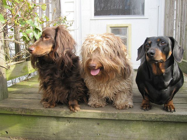 15 Things You Didn T Know About Dachshunds Dog Breeds Dachshund