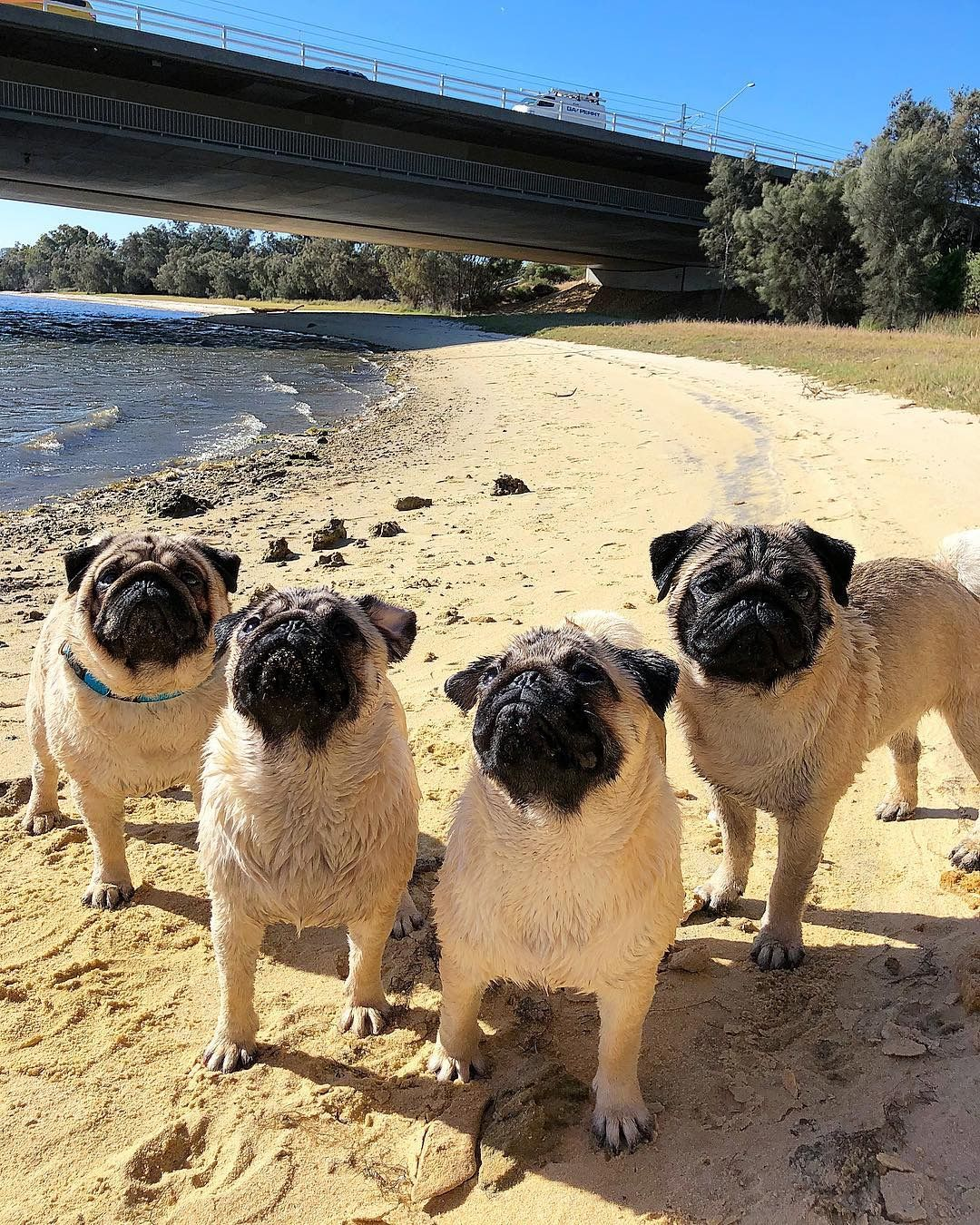 Pin By Vlynn On Furbabies Cute Pug Puppies