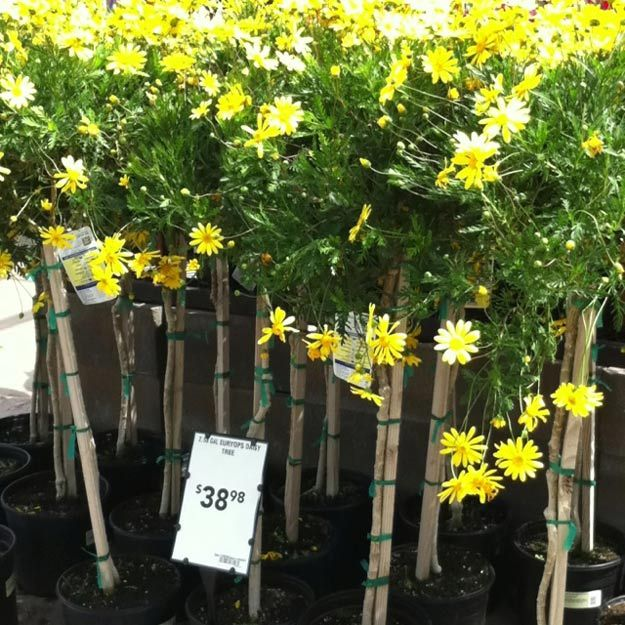 33 Stunning Drought Tolerant Plants For Low Maintenance Landscapes. Low  Maintenance LandscapingLow Maintenance GardenPatio TreesYellow FlowersFlower  ...