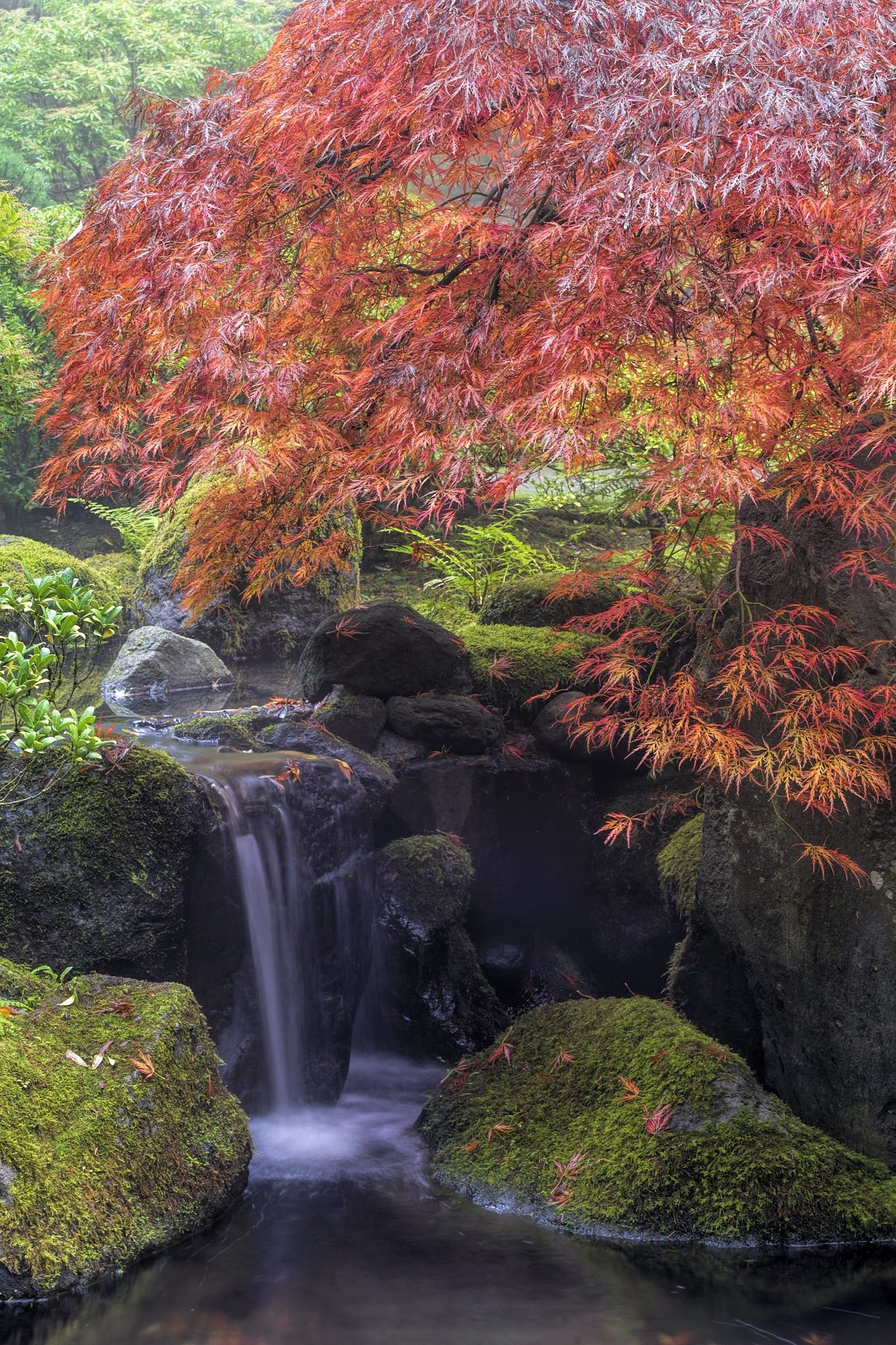 Japanese Maple Tree by Waterfall in Autumn, Portland