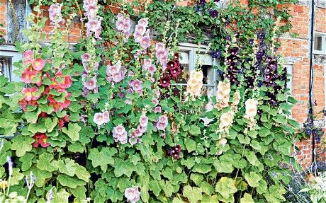 How To Grow English Cottage Garden Plants Hollyhock
