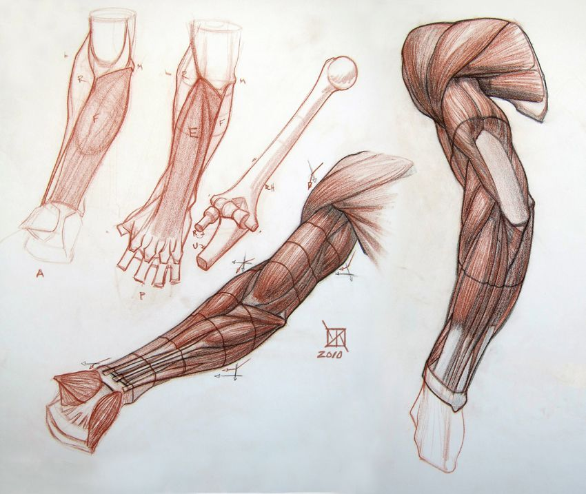 Anatomía brazo … | Pinteres…