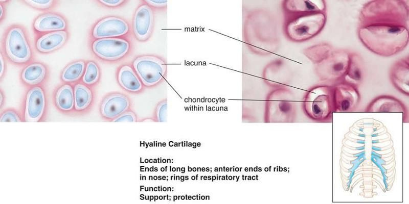 Print Anatomy & Physiology: General Terminology, Histology, Mitosis ...