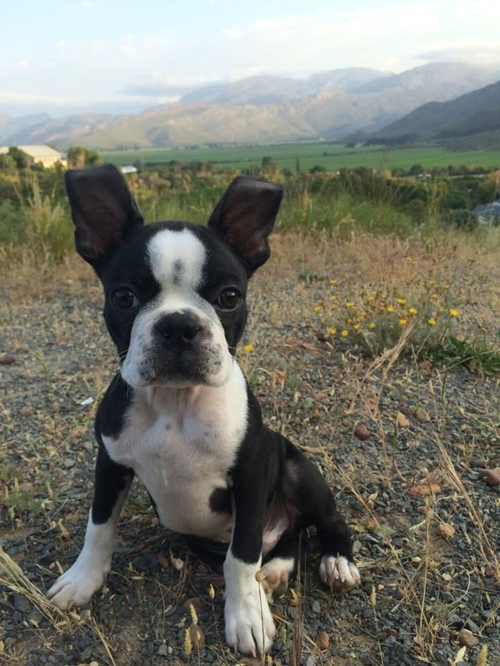Beautiful Landscapes and a Cute Boston Terrier Puppy from