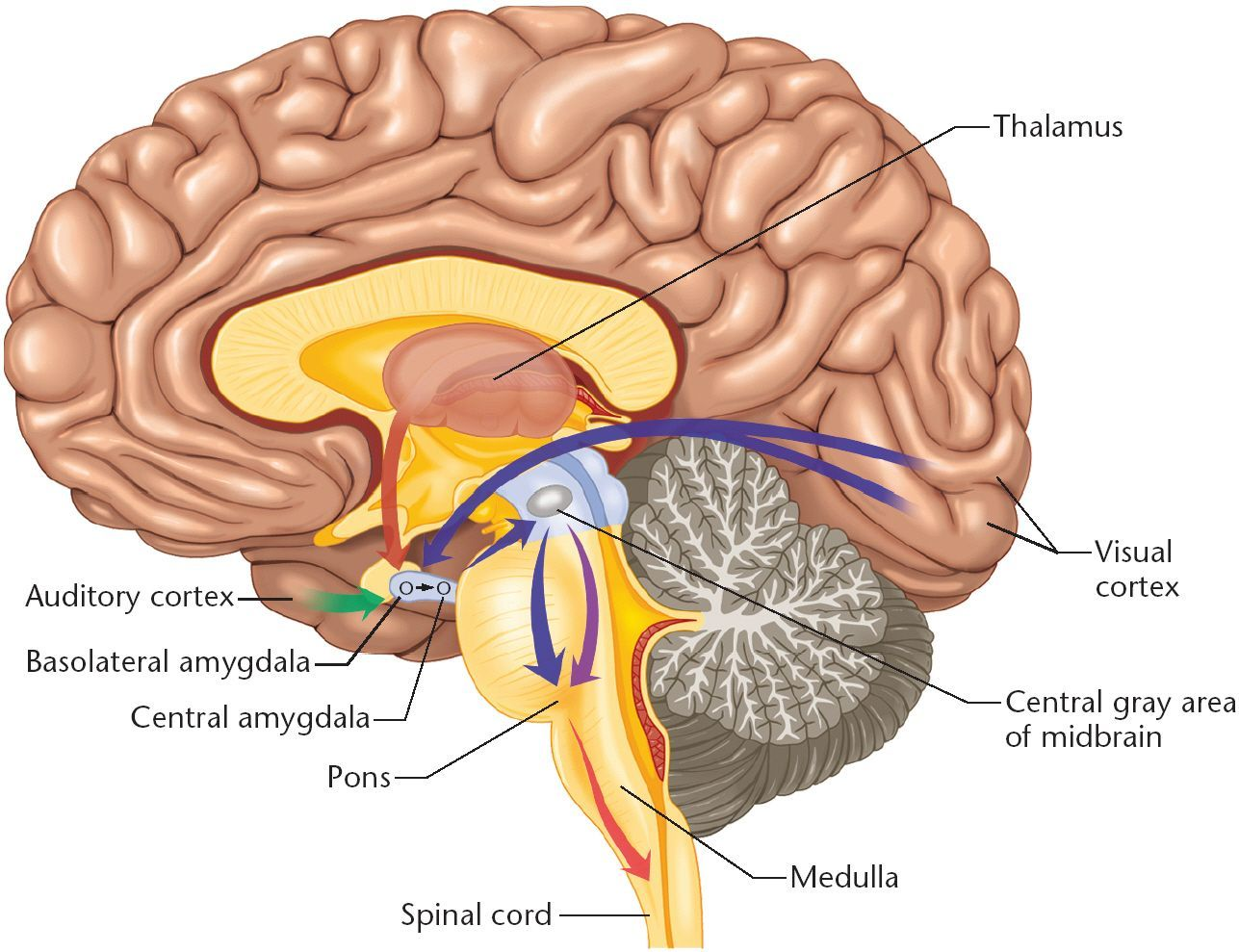 Labeled Pictures Of The Brain Human Anatomy Drawing Amygdala