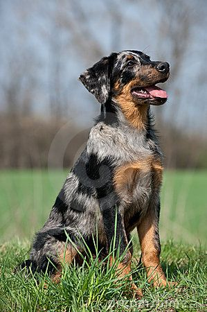 Beauceron Puppy Puppies Beauceron Dog Breeds