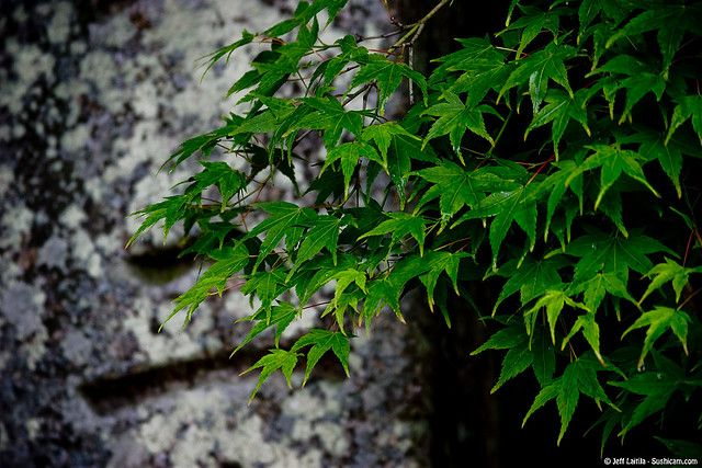 maple leaves and stone - Kyoto | por Sushicam
