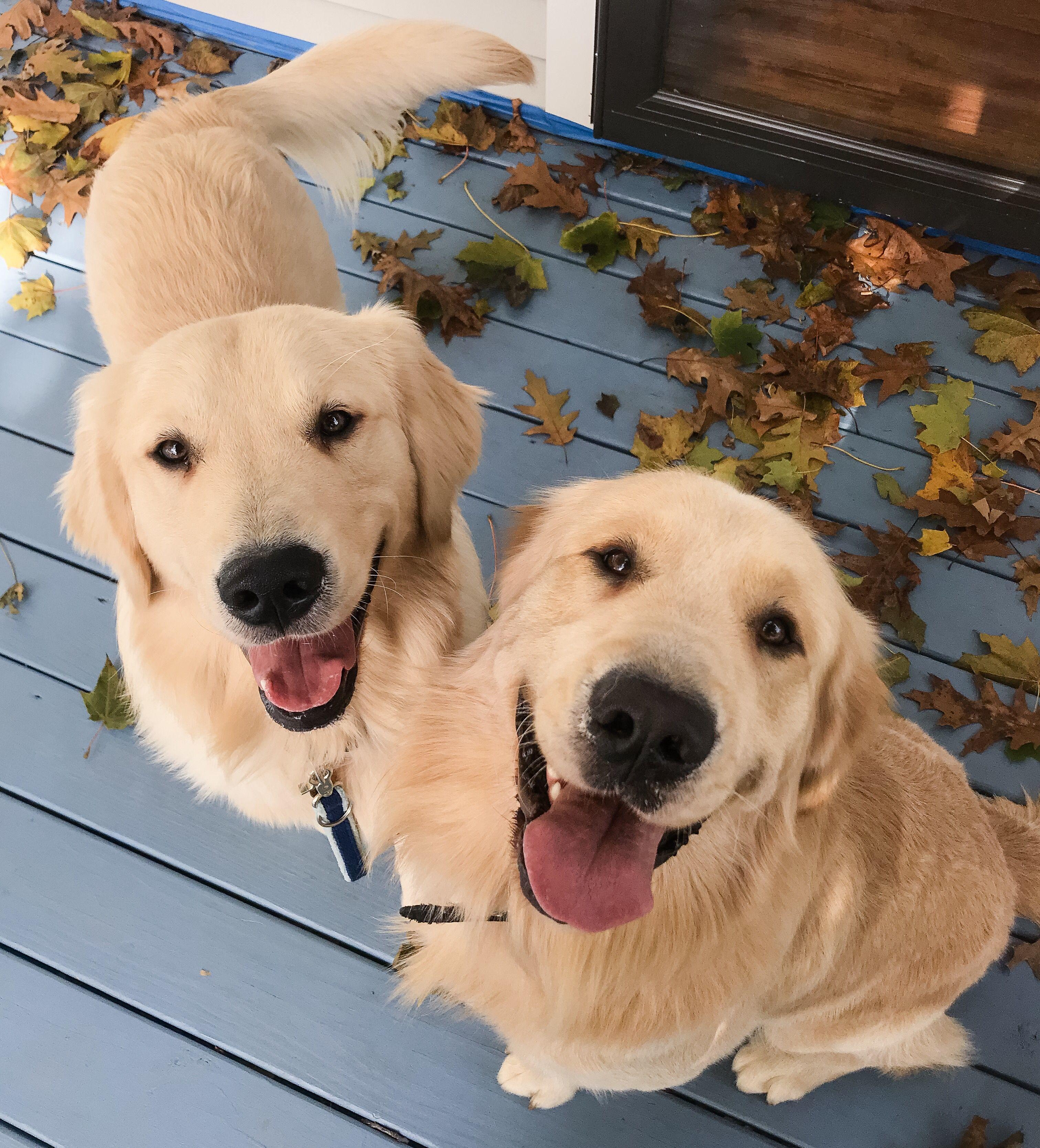 Golden Retriever Puppy Jasperthefriendlygolden And Big Brother