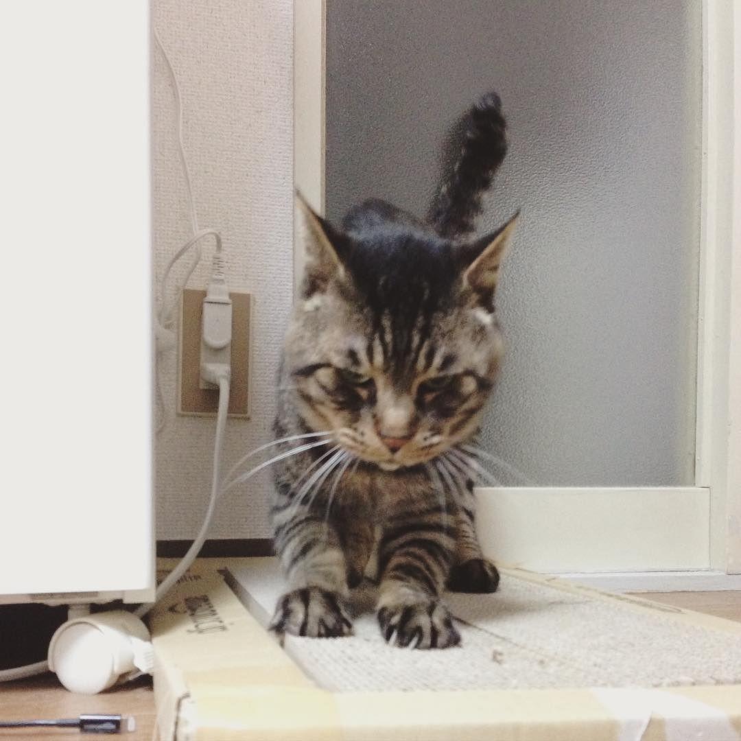 おはムサシ 朝イチの爪とぎタイムScratching. #musashi #mck #cat #キジトラ #ムサシさん by _daisy
