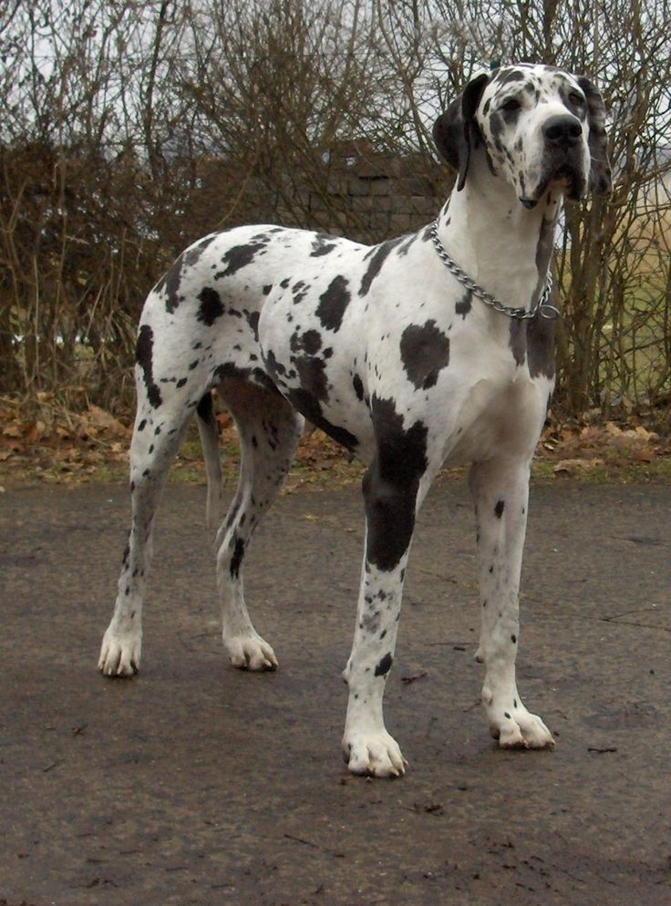 Great Dane Polka Dot Moose Cute Dogs Largest Mastiff Breeds