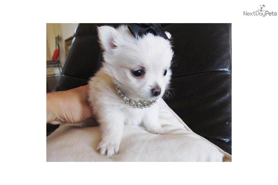 Video Of A Cute Pomchi Puppy For Sale Gorgeous Female Pomchi