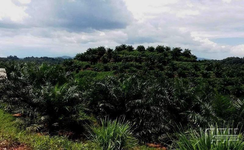 Foto Kebun Sawit Kalimantan