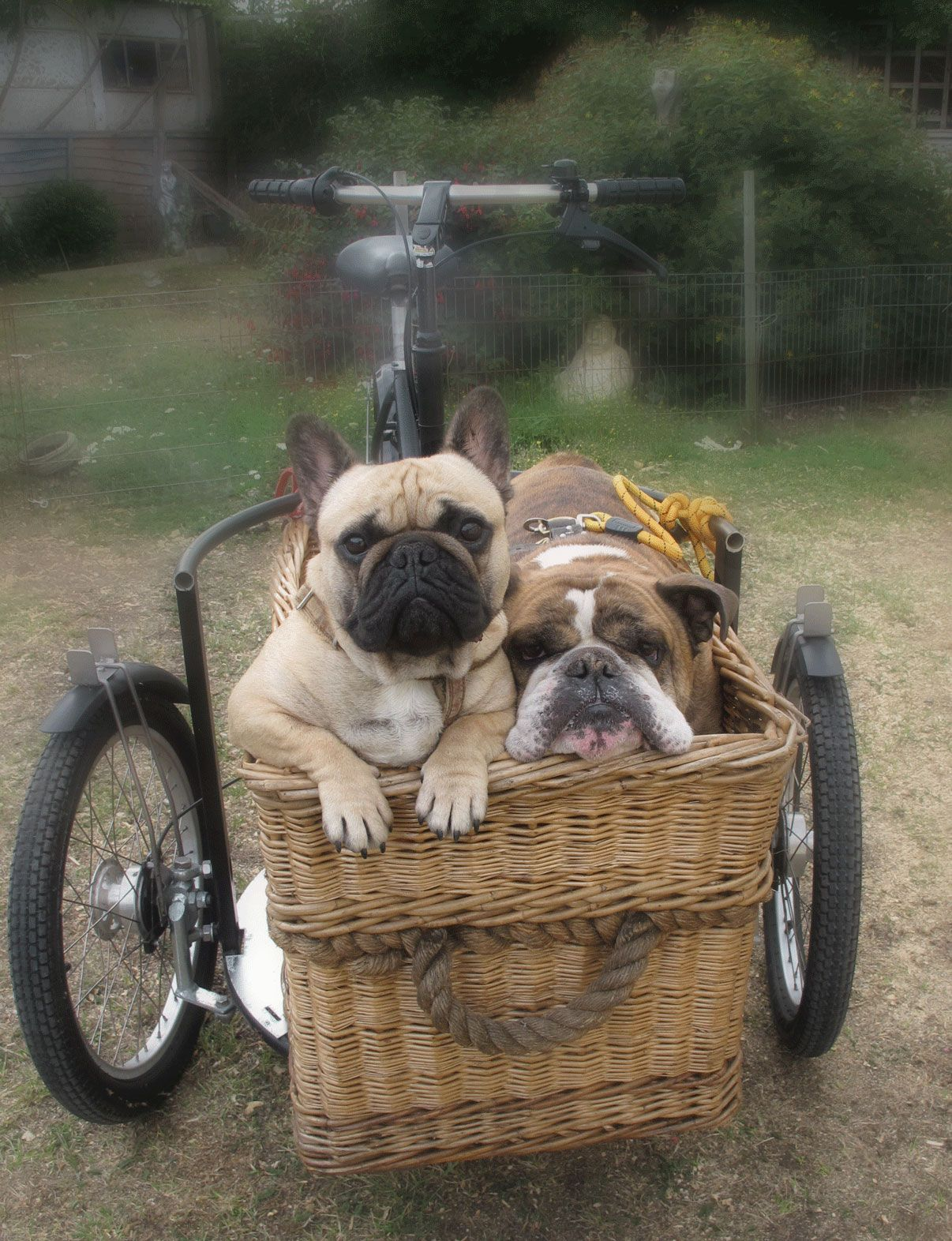 French Bulldog English Bulldog Bike Nihola Trike French