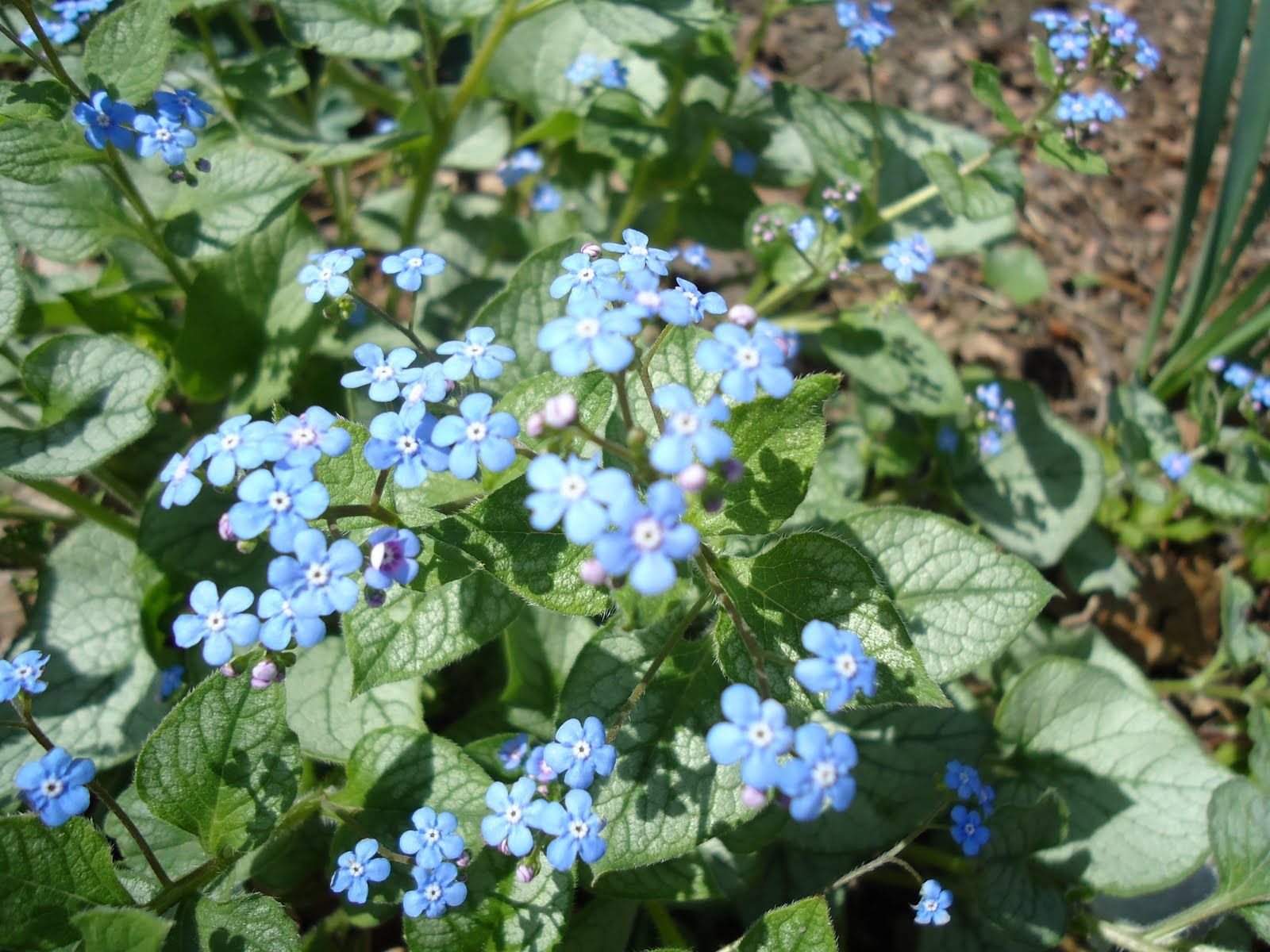 Zone 5 perennials longest blooms favorite spring perennial jack zone 5 perennials longest blooms favorite spring perennial jack frost brunnera dhlflorist Image collections