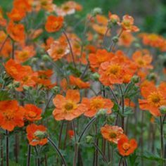 For the impatient fast growing perennials  Garden clove Geum x heldreichii Sigiswang