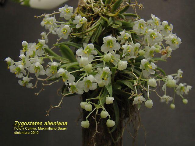 Orquideas Nativas Paraguayas , Pesquisa Google