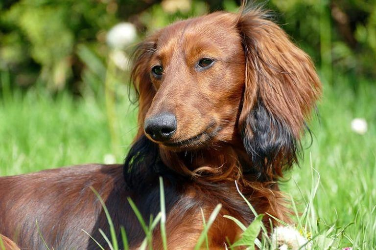 Dachshund Names 150 Awesome Wiener Dog Names Dachshund Dog