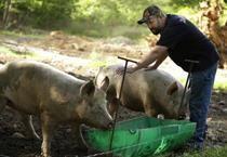 Farmer feeds pot to pigs