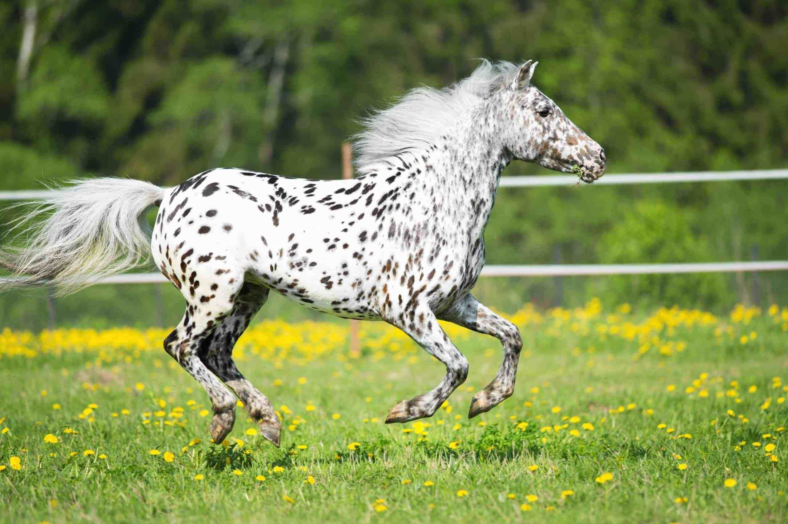 20 Of Our Favorite Pictures Of Appaloosa Horses Appaloosa Horses Horses Appaloosa [ 1704 x 2560 Pixel ]