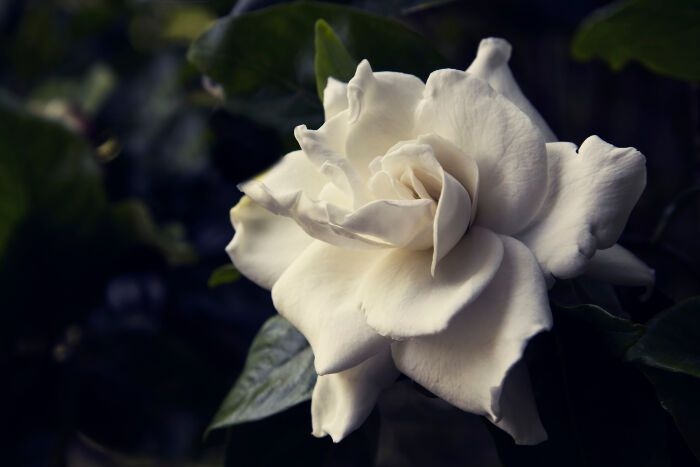The Meaning Of Gardenias Self Reflection Flower Meanings Gardenia Flowers