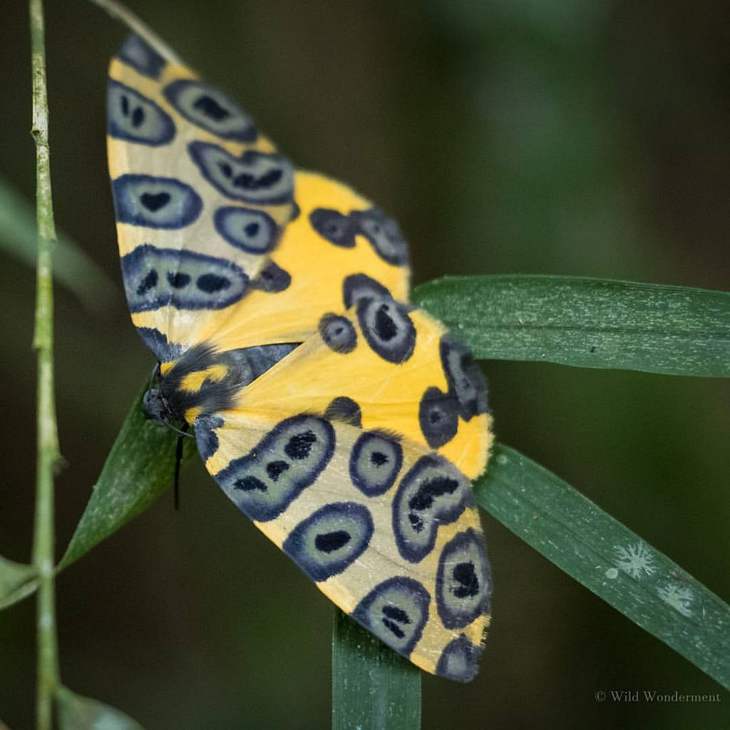 Oospila ecuadorata. A species of butterfly inhabiting the rain forests of South America. By Wild Wonderment