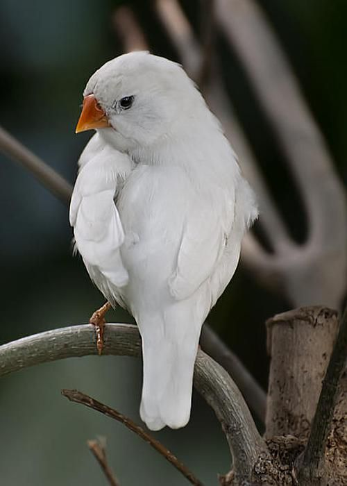 White Finch Greeting Card for Sale by Robin Webster ...