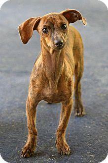 New City Ny Dachshund Whippet Mix Meet Rico A Dog For