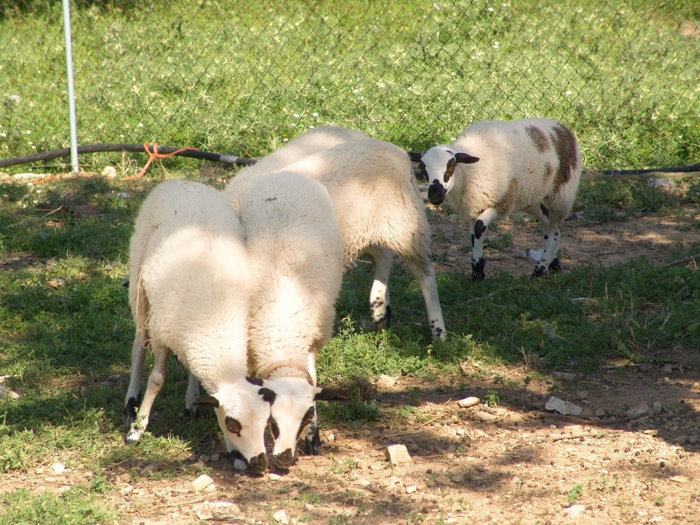 Schafe auf der Finca Ses Bitles.