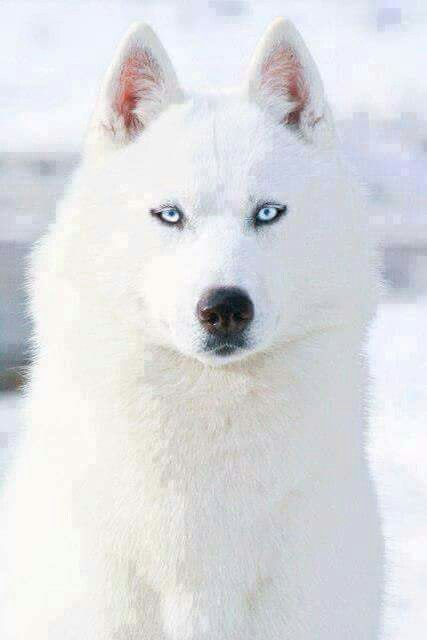 Arctic Wolf Camouflaged For Winter White Siberian Husky Husky