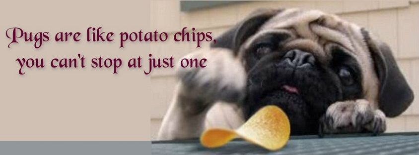Pug Facebook Cover Photo For Your Timeline Pug Quotes Pugs Are