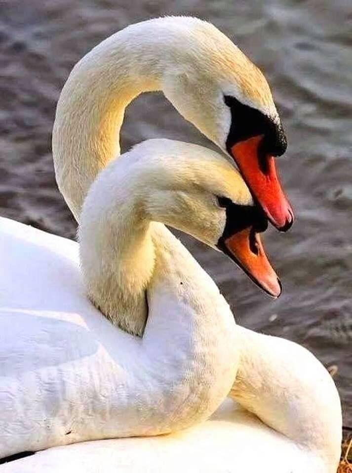 есть слово фото лебедей целующихся дом