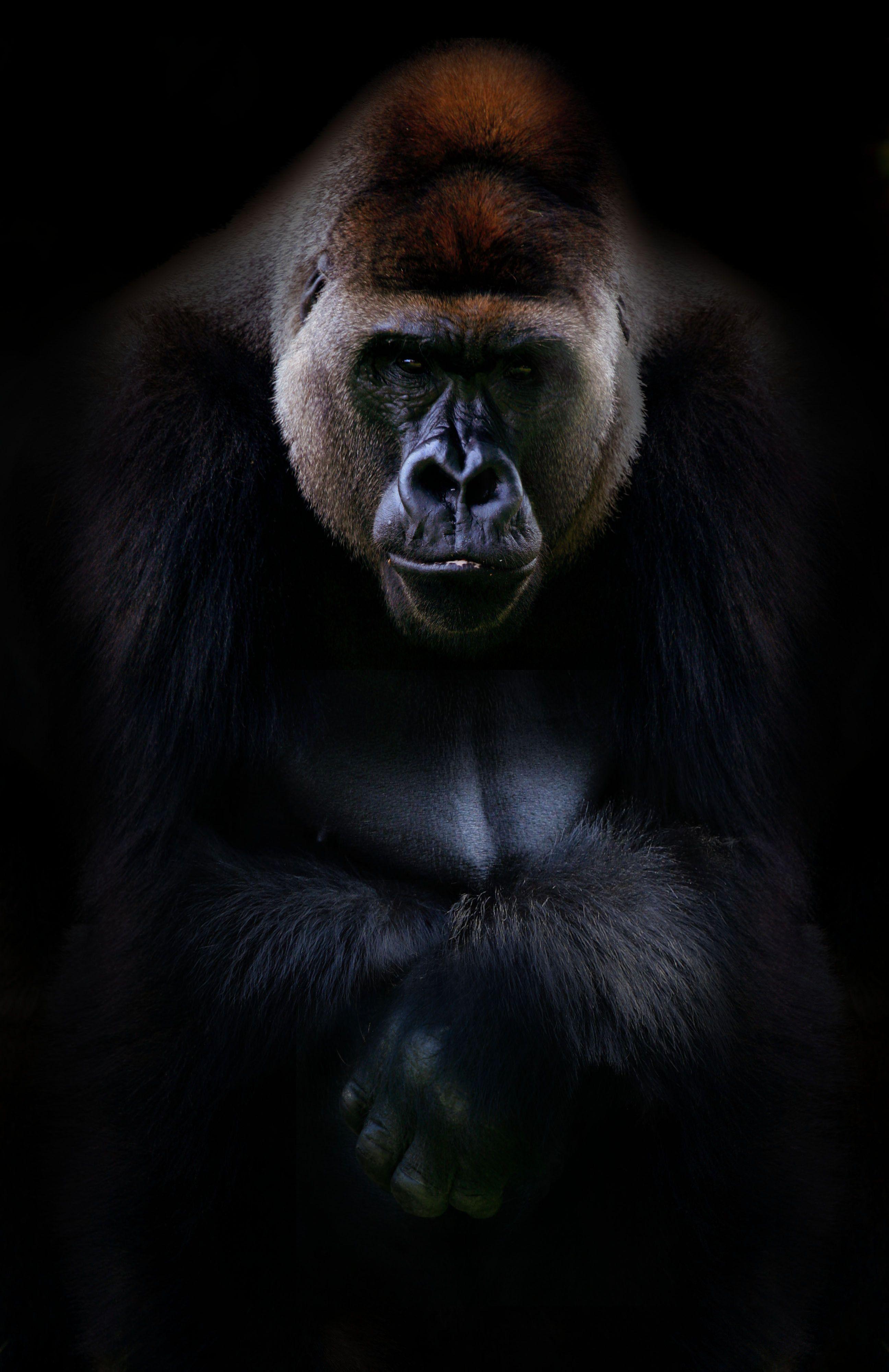 Cute Gorilla Wallpapers Silverback Gorilla Gorilla Wallpaper Silverback Gorilla