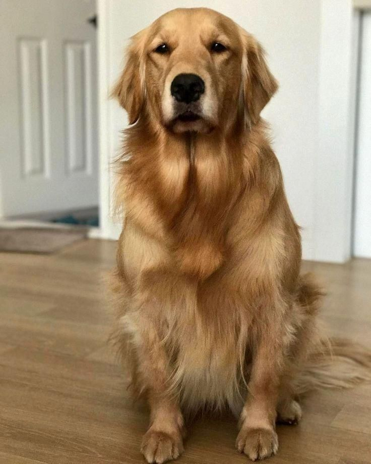 See Our Web Site For Even More Information On Golden Retrievers It Is An Outstanding Area To Find Out More Retriever Golden Retriever Red Golden Retriever