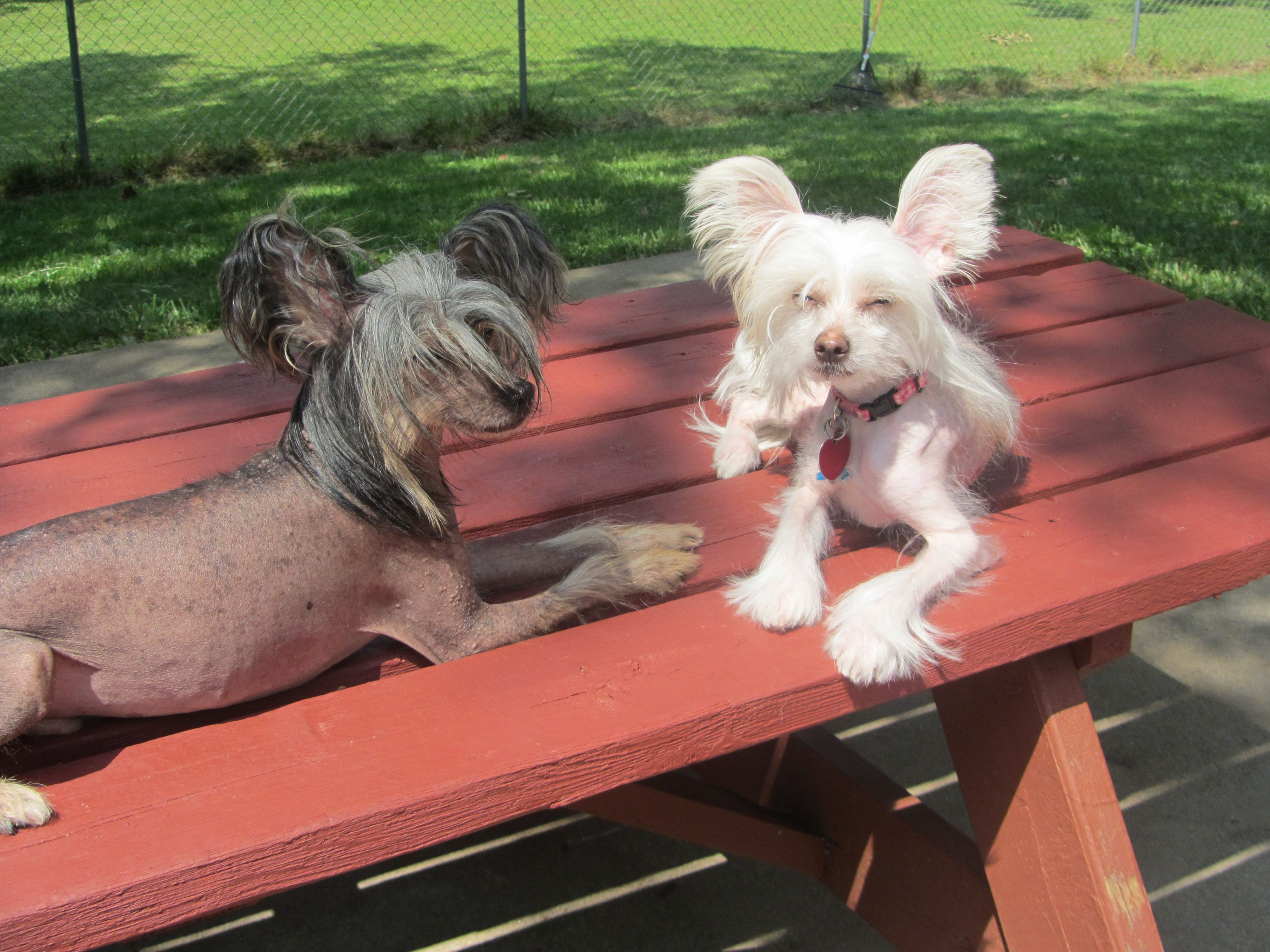 Pin By Vanessa Olivet On Chinese Crested Love For You Nugget Chinese Crested Dog Silly Animal Pictures Chinese Crested