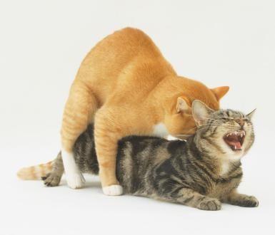 How do cats do sex