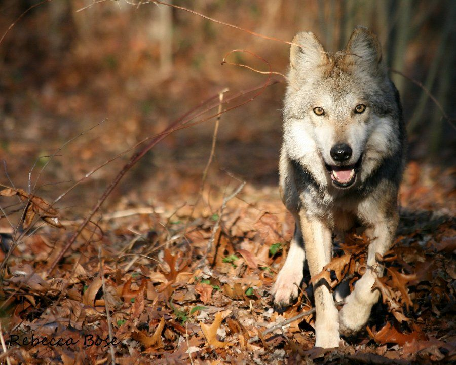 Despite the recent death of a Mexican gray wolf ...