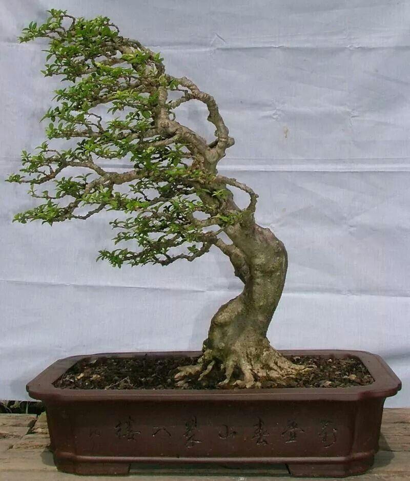 bonsai looks like it 39 s in a strong wind bonsai pinterest bonsai bonsai baum und pflanzen. Black Bedroom Furniture Sets. Home Design Ideas