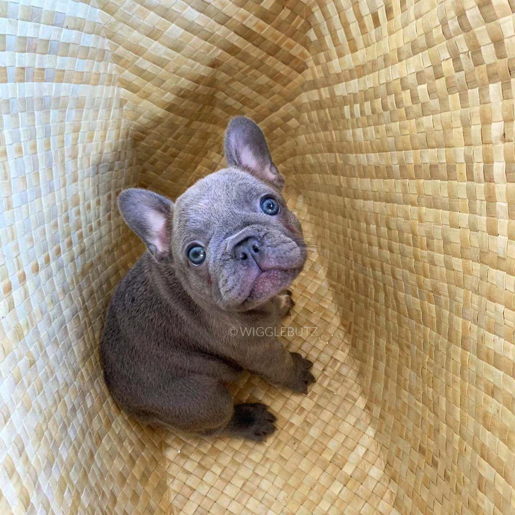 Puppy 1 In 2020 French Bulldog Bulldog Puppies For Sale Puppies