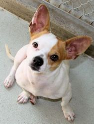 Frenchy/Jack russel mix...awww