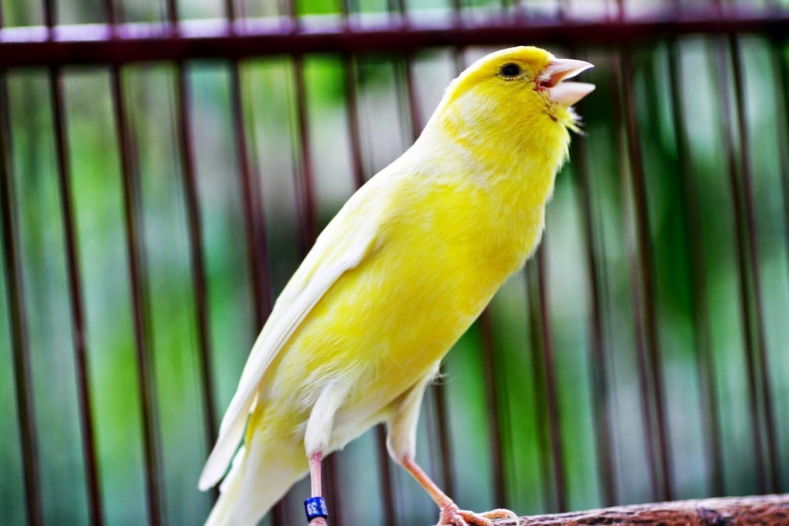 Burung Kenari Burung Burung Suara Binatang Lucu